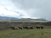 Wild horses around base camp at 13000 ft